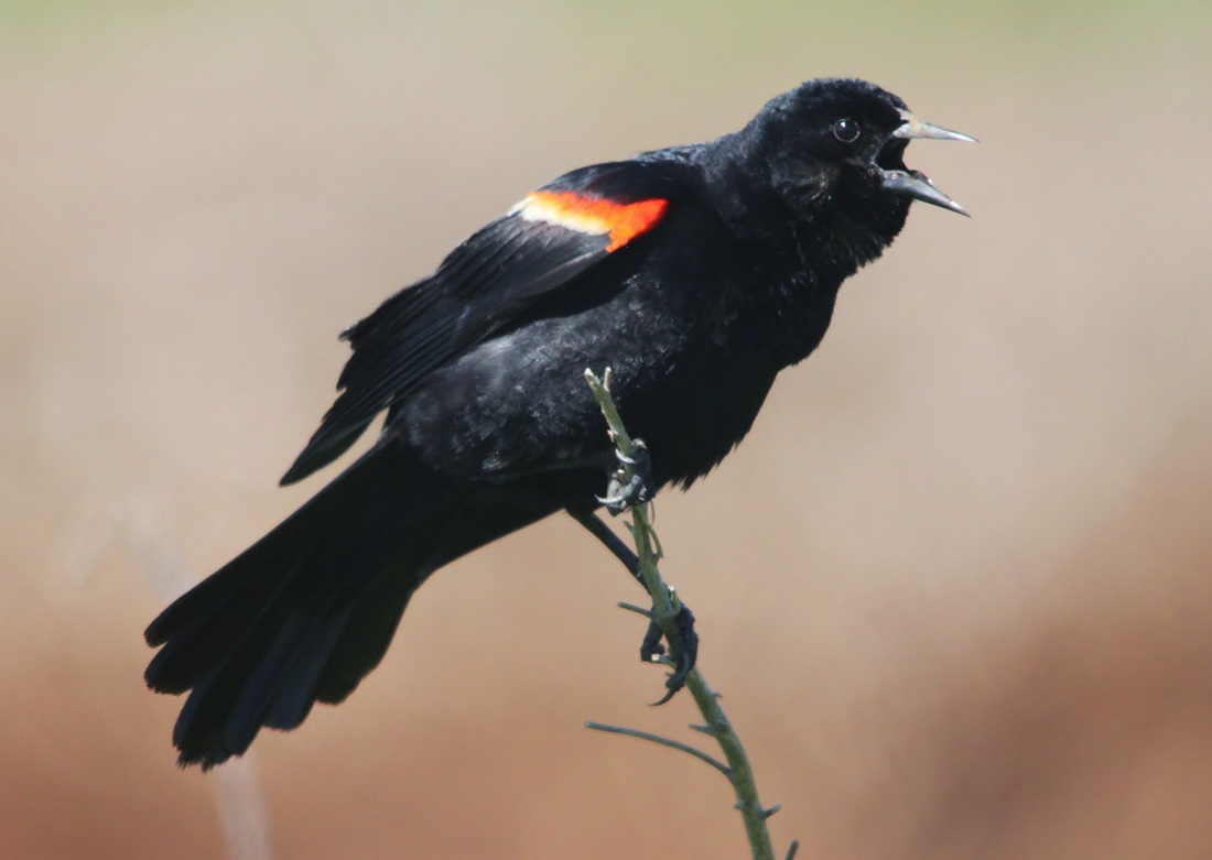 A red winged blackbird gets anxious for spring ny harbor nature buycottarizona