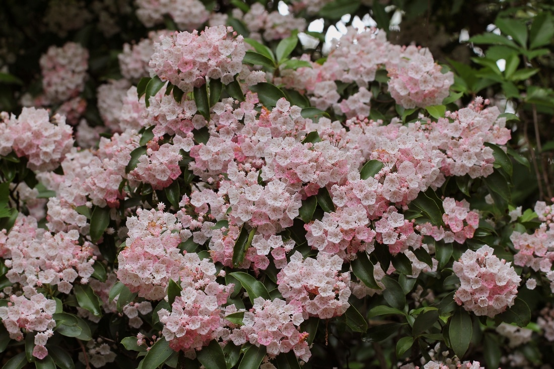 This Shadetolerant Shrub Has Been Delighting People For Centuries Mountain  Laurel Was First Recorded Growing In American Forests In 1624