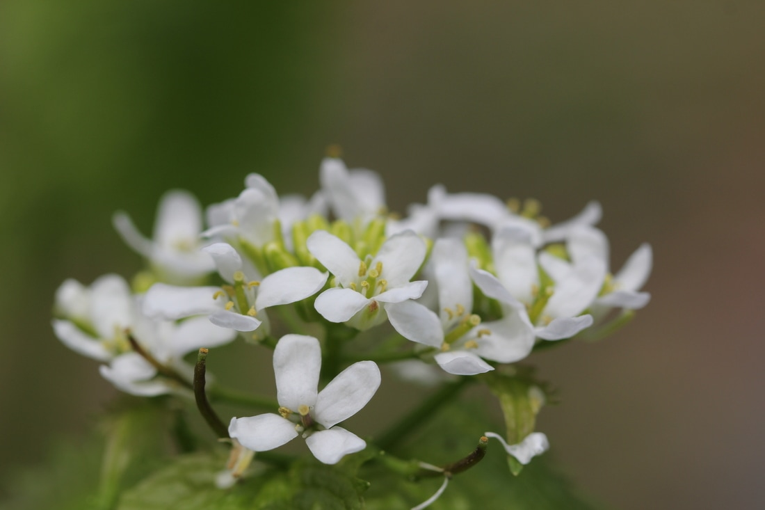 Garlic mustard in bloom around ny harbor ny harbor nature although the plant looks nice at first with likable white flowers and tall stalks dont be fooled the looks are misleading mightylinksfo